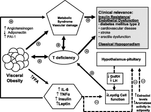Physiology is complex.  The major takeaway is that low testosterone both causes the metabolic syndrome and is caused by the metabolic syndrome.  This of course can create a positive feedback loop.  Which, as you can imagine, is bad.   Source: http://care.diabetesjournals.org/content/34/7/1669.full