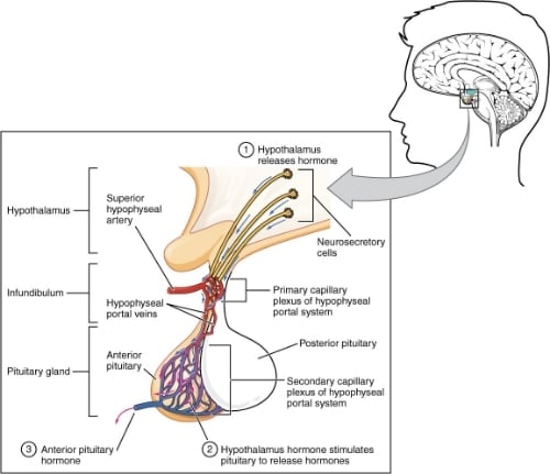 The anterior pituitary gland sits pretty much right behind the spot between the eyes in the middle of the head.  It sits in a bony groove of the inside of the skull that looks like a turkish chair (so I've been told) and is literally called a turkish chair.  Except to be fancy, it's in latin, so it's called a