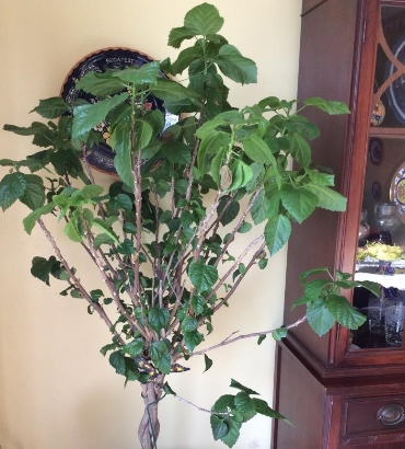 My wilting hibiscus tree