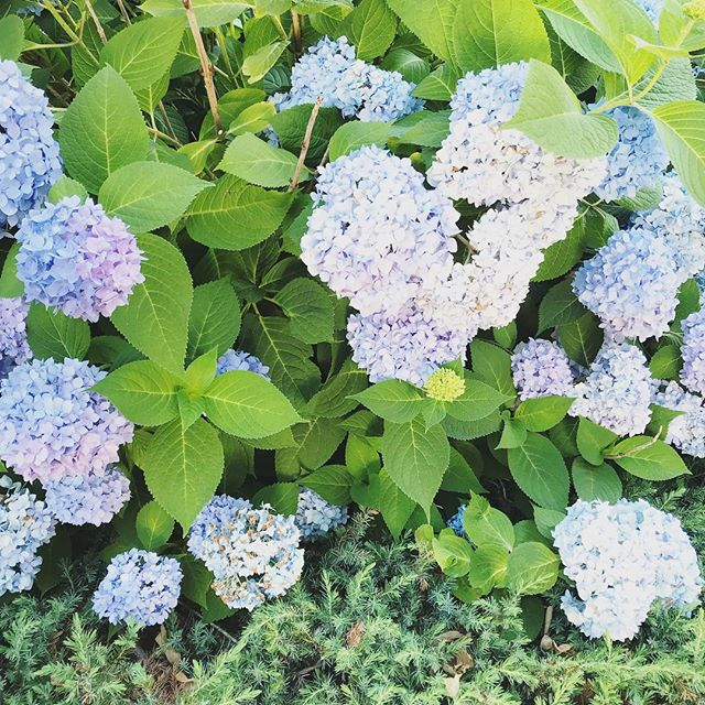 Just another hydrangea photo #newenglandsummer #summah 🌳🌸