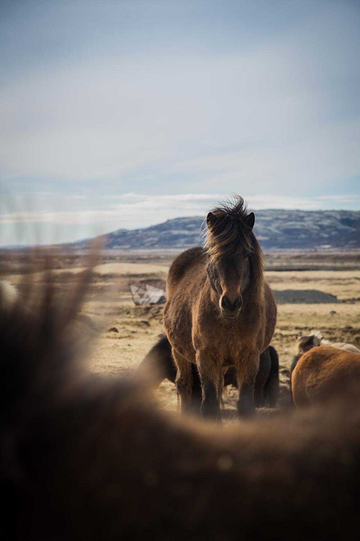 Icelandic horses along Golden Circle