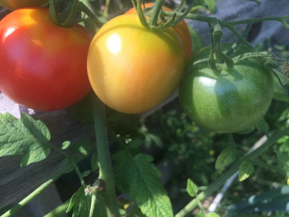 Tomato transition