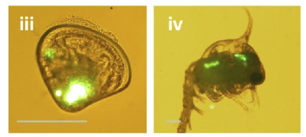 Images from a recent study examining ingestion of microplastics by zooplankton. The plastic pieces are visualized using fluorescence microscropy in iii) a bivalve larvae and iv) a Brachyuran larvae. Reprinted with permission from Cole, et al. Environ. Sci. Technol., 2013, 47 (12), pp 6646–66. Copyright (2013) American Chemical Society