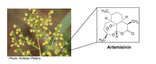 the anti-malarial drug artemisinin was isolated from wormwood ( Artemisia annua )