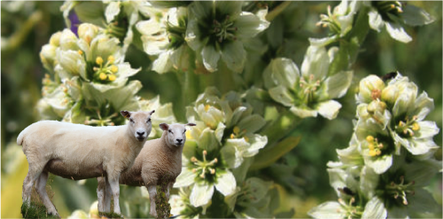 creative commons (sheep: By  Kreuzschnabel ; corn lily:  DcRjSr )