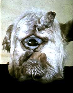 upsetting image of a cyclops lamb ( via USDA-Agricultural research services )