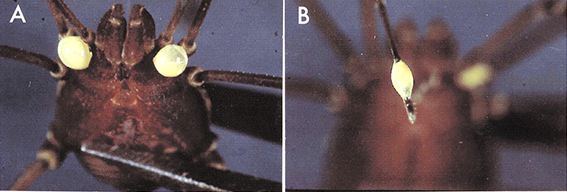 In panel A Vonones sayi has freshly extruded the quinone Goo. in panel B it has dipped its leg into the mixture and is ready to swab at some ants! This  Image was taken from Eisner, T.; Rossini, C,;Gonzalez, A.; Eisner, M. (2004) CHemical Defense of an opilonid (acanthopachylus aculeatus). Journal of experimental biology, 207, (8), 1313-1321. Doi: 10.1242/JEB.00849