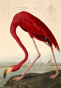 Much of a flamingo's pink coloring comes from eating beta-carotene producing alga.