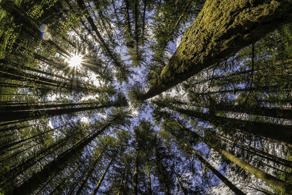Wasim Muklashy Travel Photography_Pacific Northwest_Washington_Tree Canopy