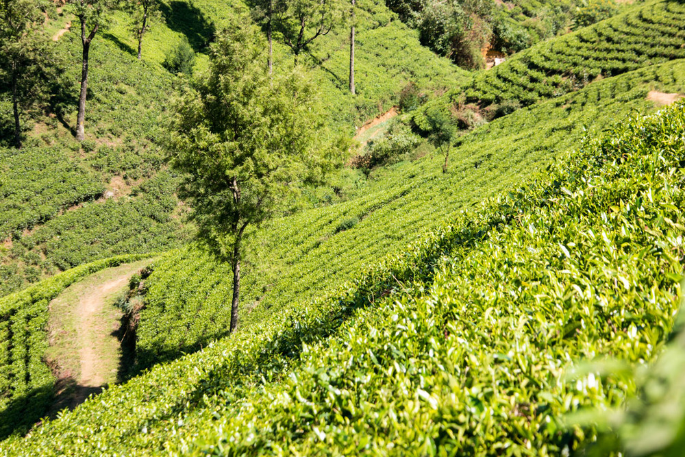 Pedro Tea Estate, Nuwara Eliya, Sri Lanka, Wasim Muklashy Photography, Wasim of Nazareth