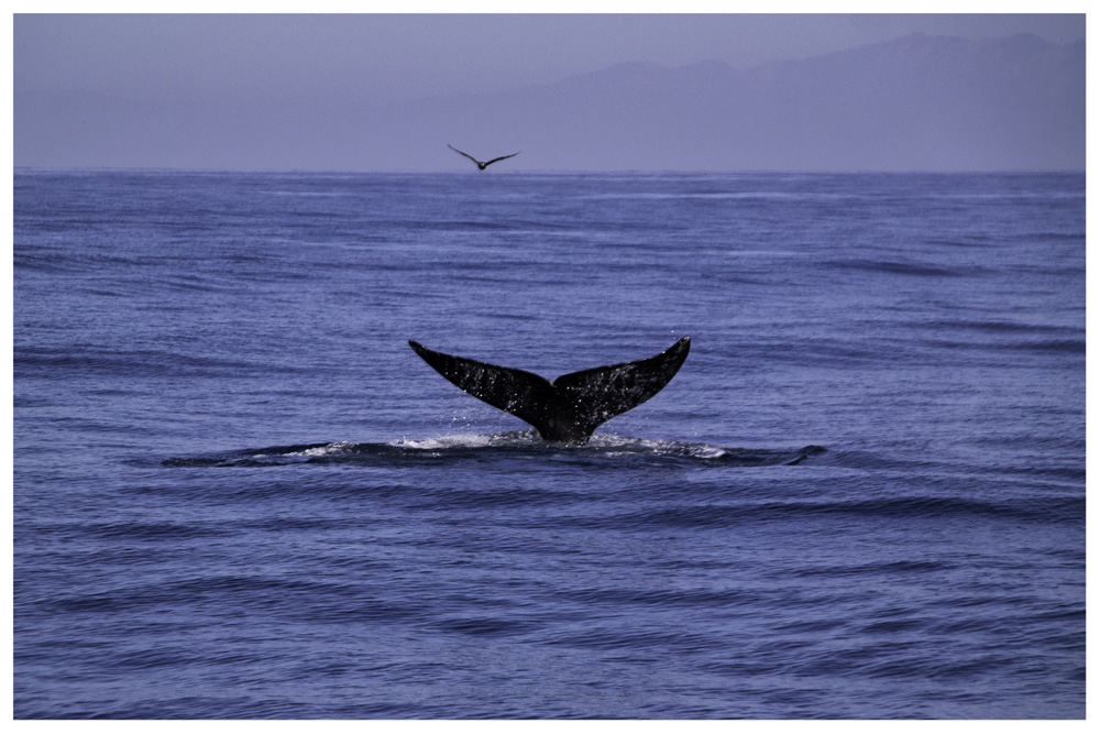 Wasim Muklashy Photography_Whale Watching_Ventura_California_Samsung NX30_05.jpg