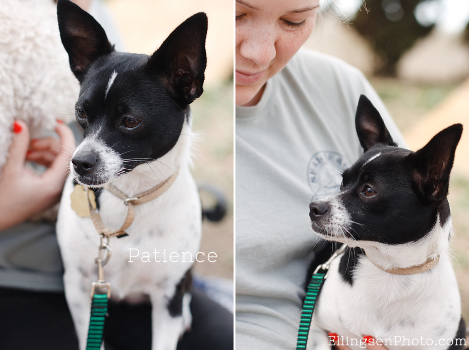 Seal Beach Animal Care Center Adoptable Shelter Dogs by Ellingsen Photography-Patience the Chihuahua