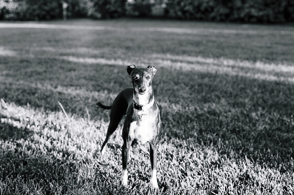Dante Italian Greyhound Squints at the Park Ilford BW Film by Ellingsen Photography