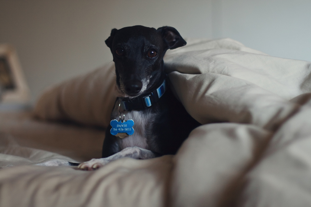 Dante the Lazy Italian Greyhound in Bed by Ellingsen Photography