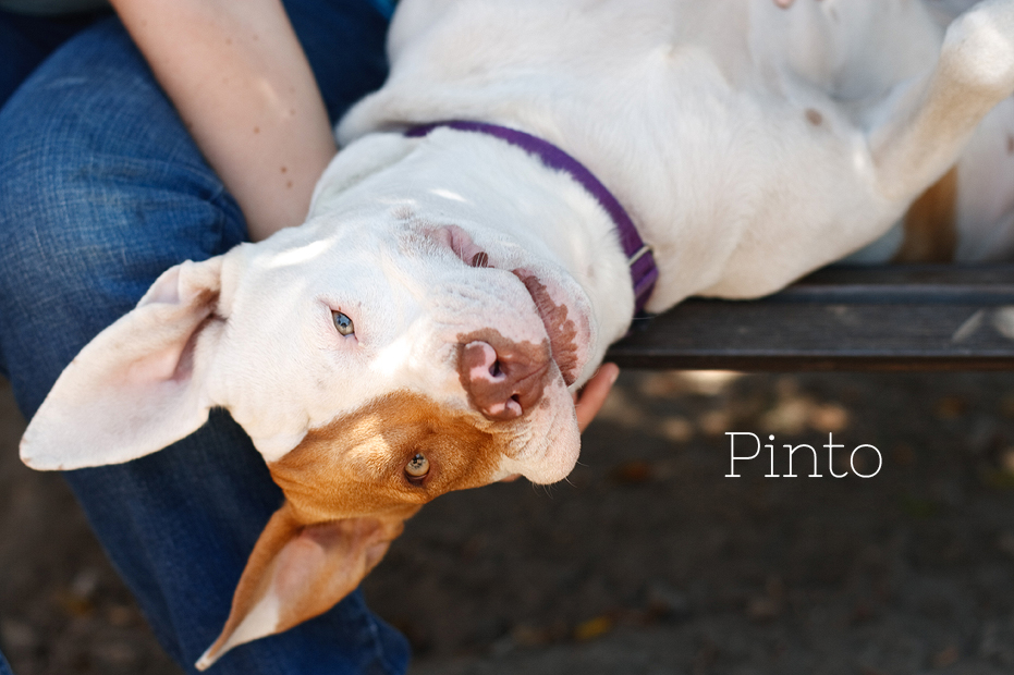 Ellingsen Photography Seal Beach Animal Care Center Adoptable Dogs Shelter Rescue Orange County-Pinto 3