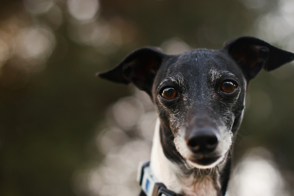 Ellingsen Photography Dante the Soulful Italian Greyhound