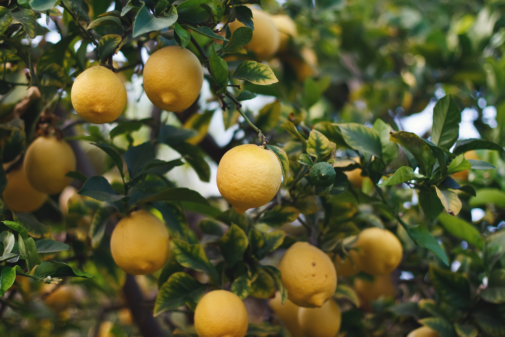 Ellingsen Photography Walk Through the Garden-Lemon Tree