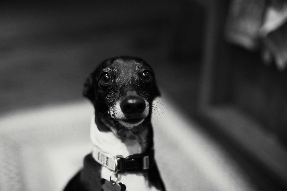 Ellingsen Photography Dante the Beggar Italian Greyhound Pet