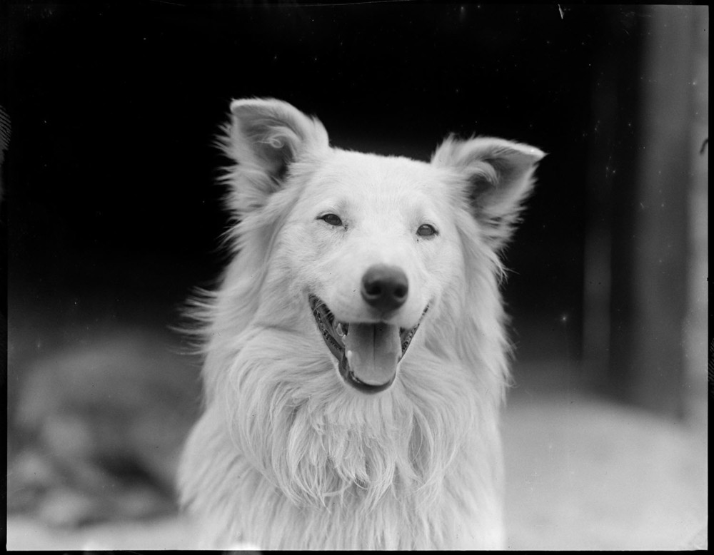 Collie Dog by Leslie Jones