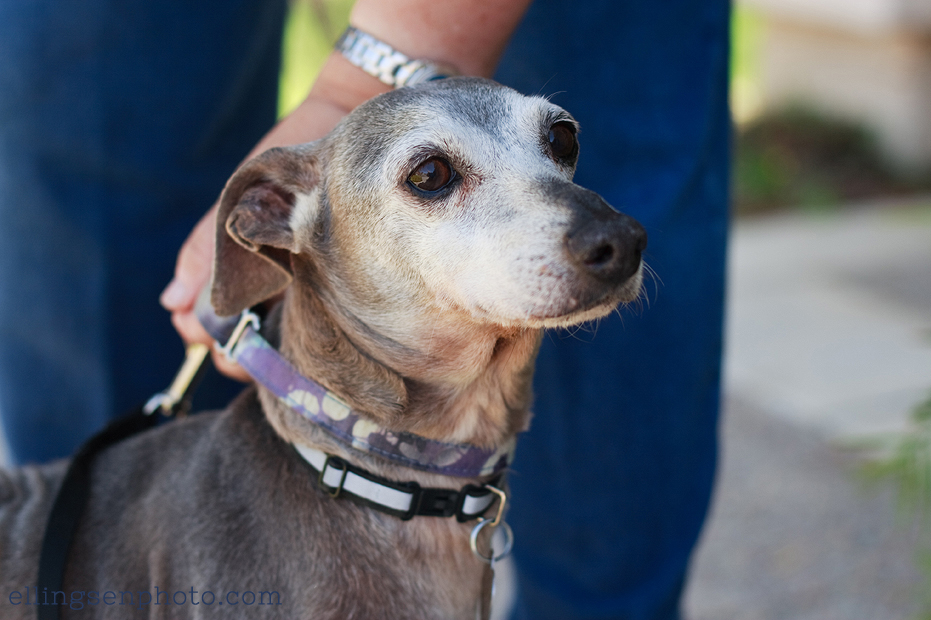 Ellingsen Photography Italian Greyhound Rescue Adoptable Dog Orange County Pharaoh-3