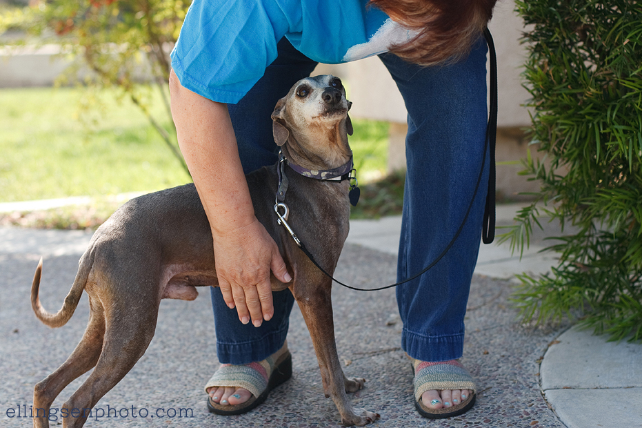Ellingsen Photography Italian Greyhound Rescue Adoptable Dog Orange County Pharaoh-1