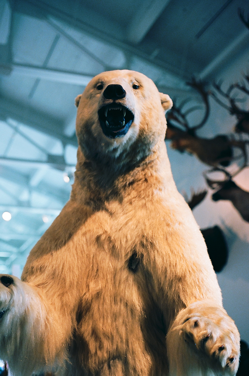 Ellingsen Photography LA Natural History Museum Polar Bear