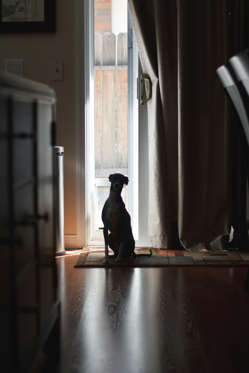 Ellingsen Photography Dante Italian Greyhound Pet Silhouette