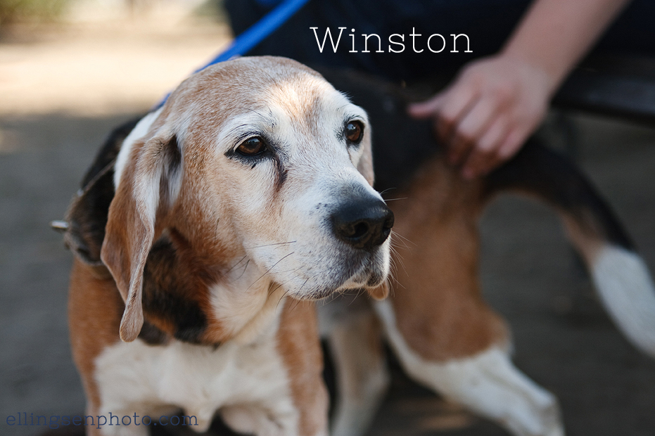 Ellingsen Photography Orange County SBACC Adoptable Dogs-Winston-4