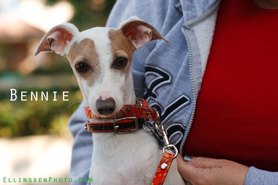 Ellingsen Photography IGCA Rescue Italian Greyhound Adoptable-Bennie