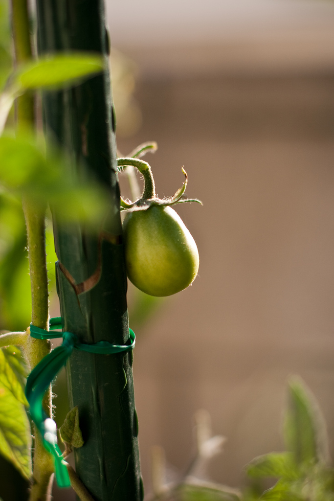 Ellingsen Photography Moms Tomato Vine