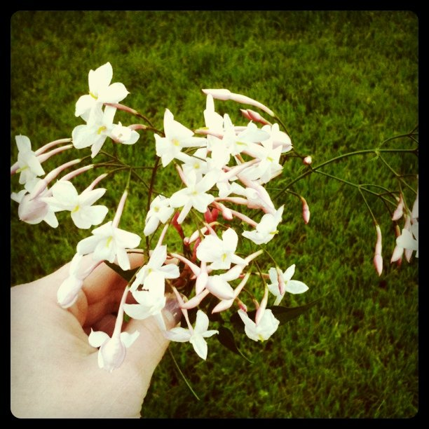 Ellingsen Photography Instagram Fresh Jasmine from the Garden iPhoneography