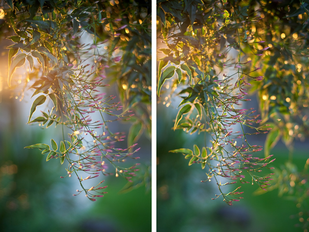 Ellingsen Photography Jasmine Flowers Golden Light