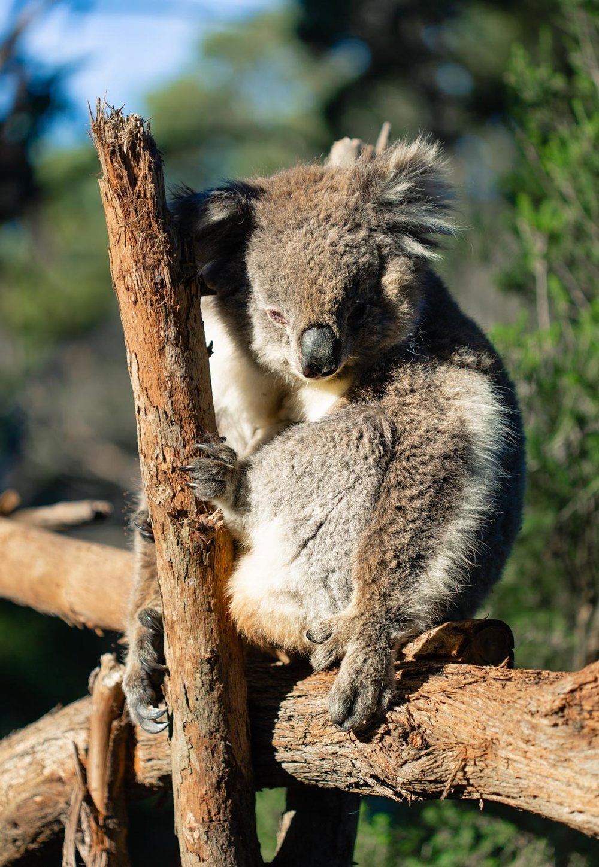 alexa-wright-koala-1.jpg