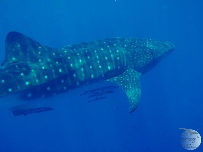 whale_shark_mergui.jpg