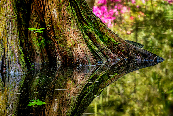 Magnolia Hidden Pond cypress and leaf DE.jpg
