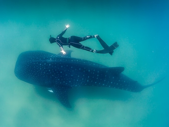 800px-Whale_Shark_and_Freediver.jpg