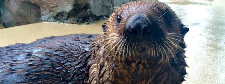 Sea Otter Mishka.