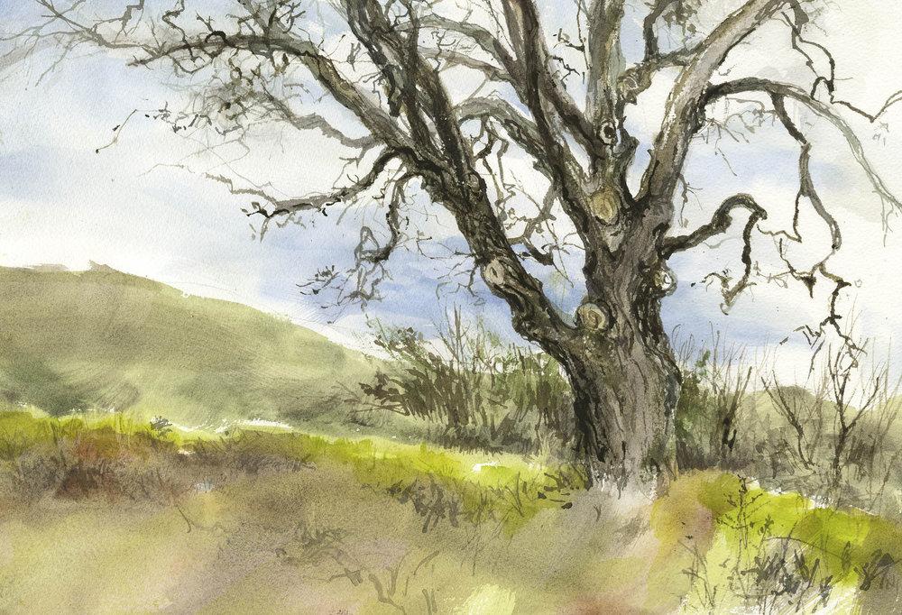 Almaden Quicksilver Oak