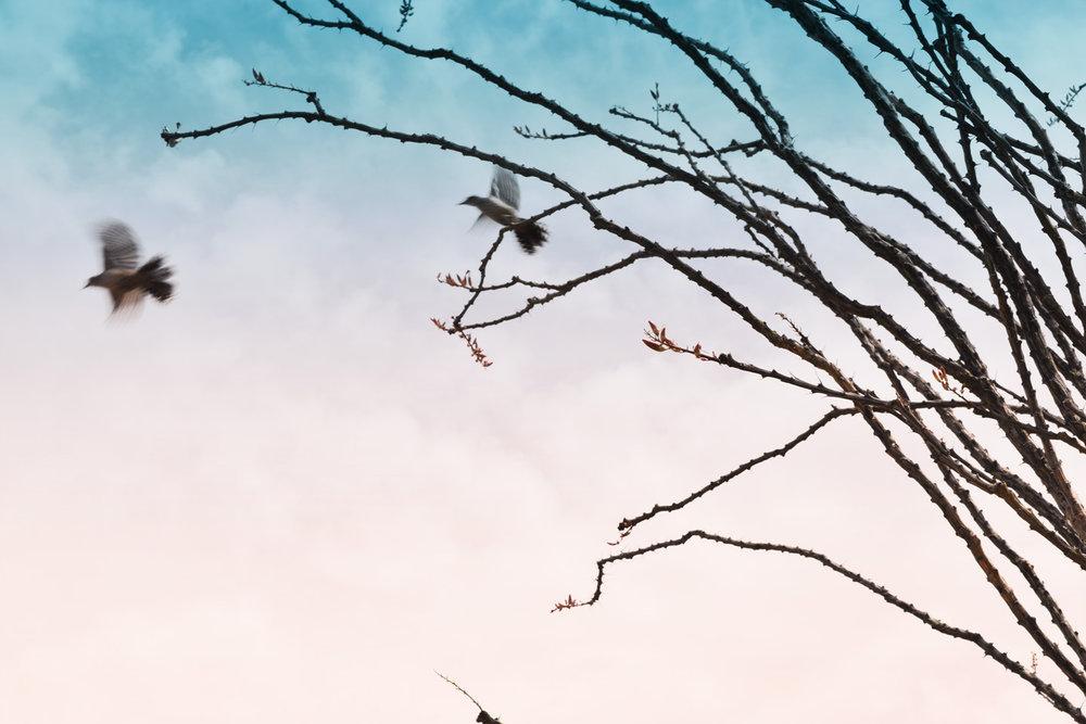 Ocotillo & Doves