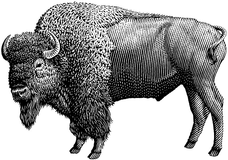 Bull Bison or Buffalo