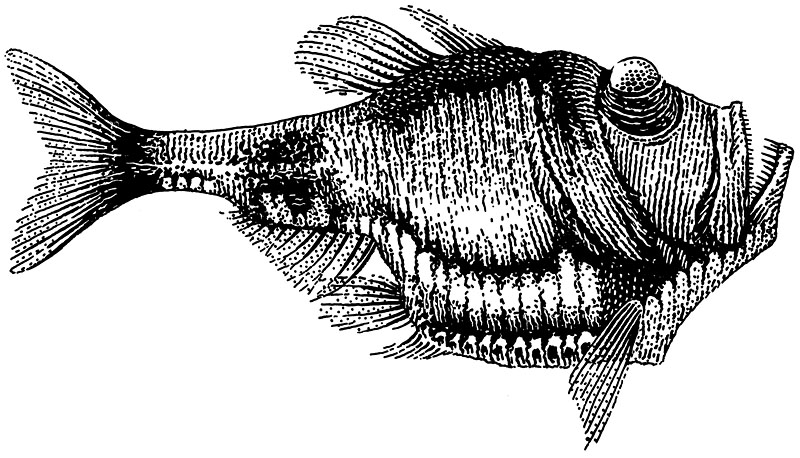 Deep Sea Fish