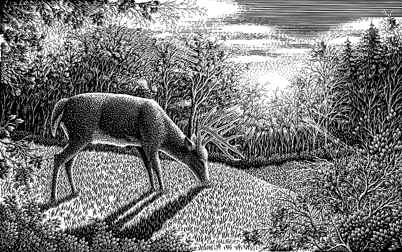 White-Tail Buck Deer Feeding at Dawn