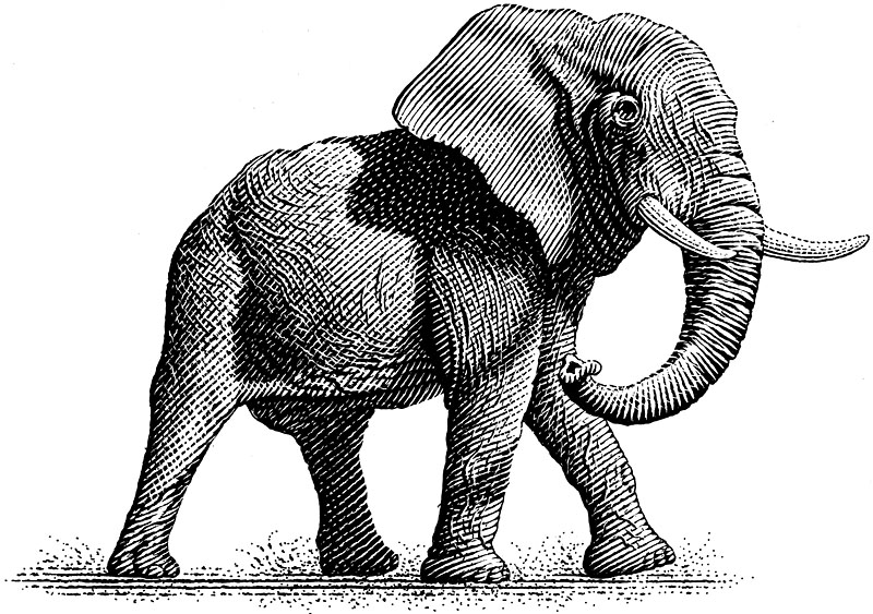 Bull Elephant with Tusks
