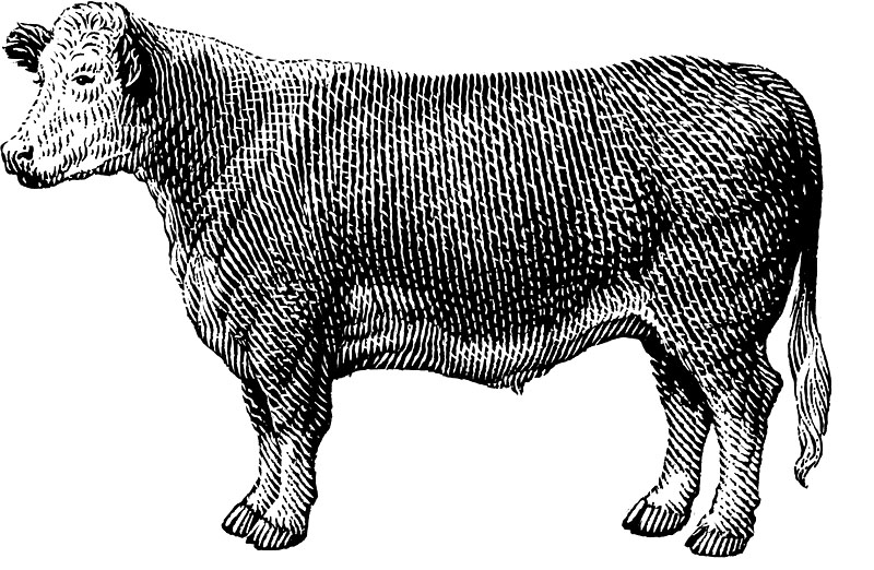 Hereford Steer 2