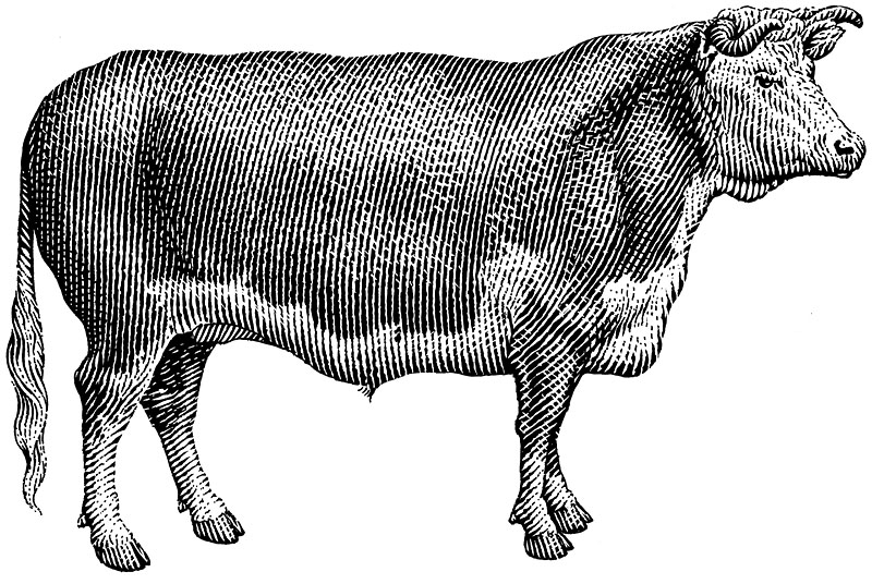 Hereford Steer 3