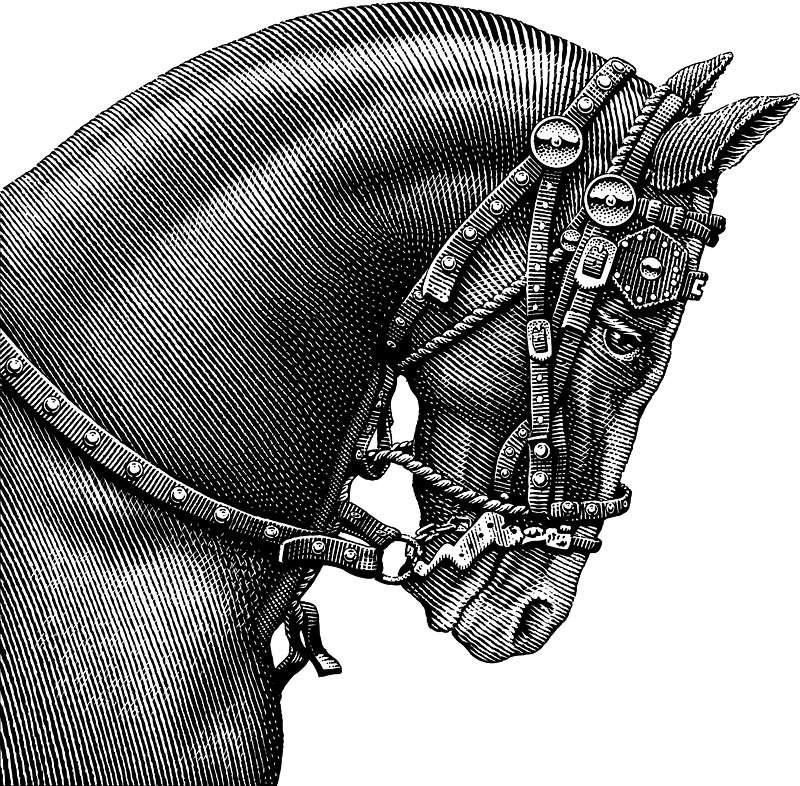 Black Horse Portrait Wearing Bridle