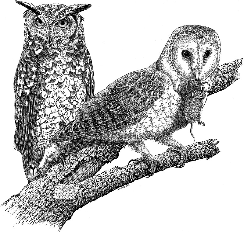 Barn Owl and Screech Owl