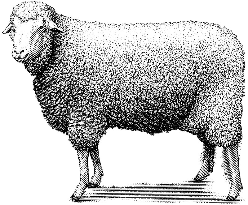 Sheep or Lamb