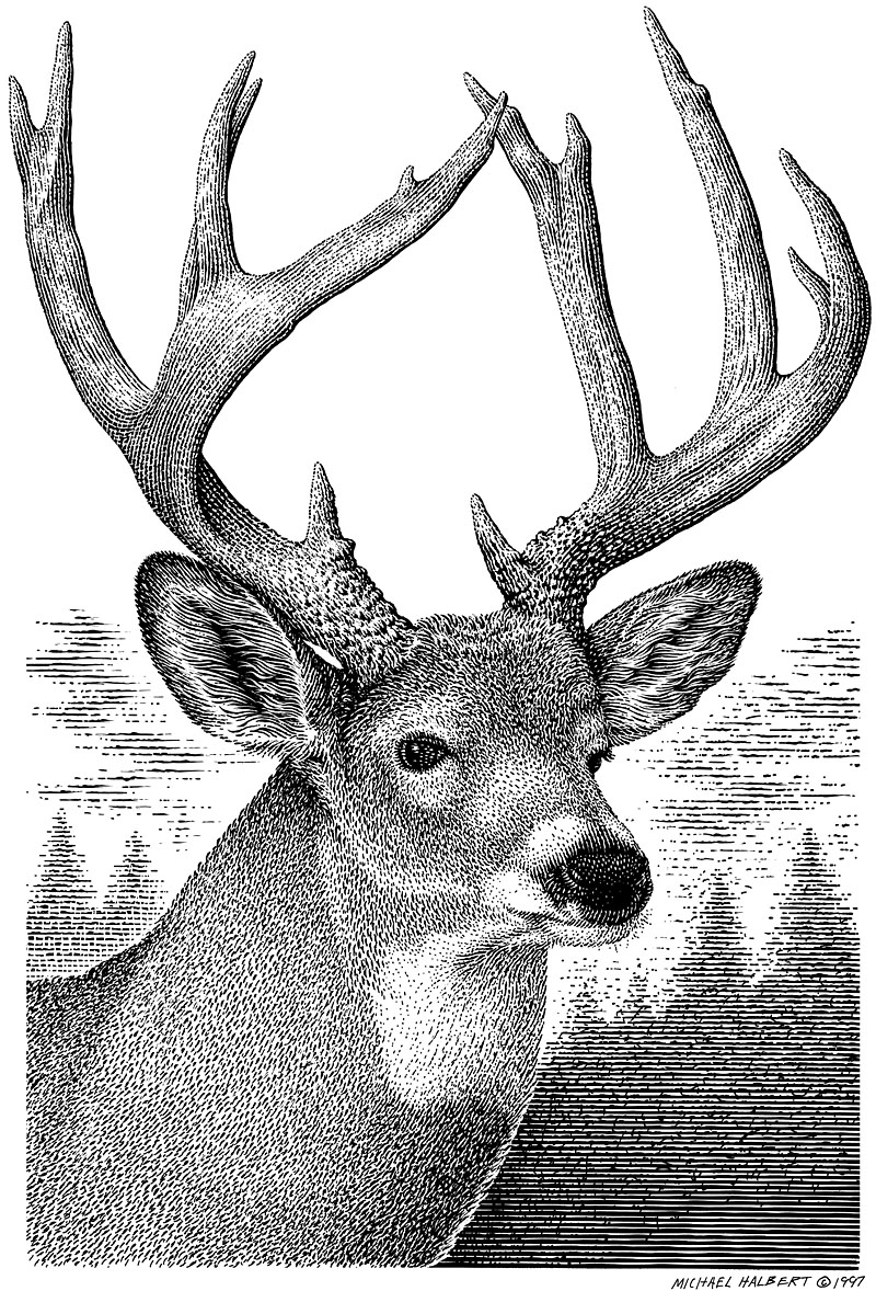 Whitetail_Deer_Buck.jpg