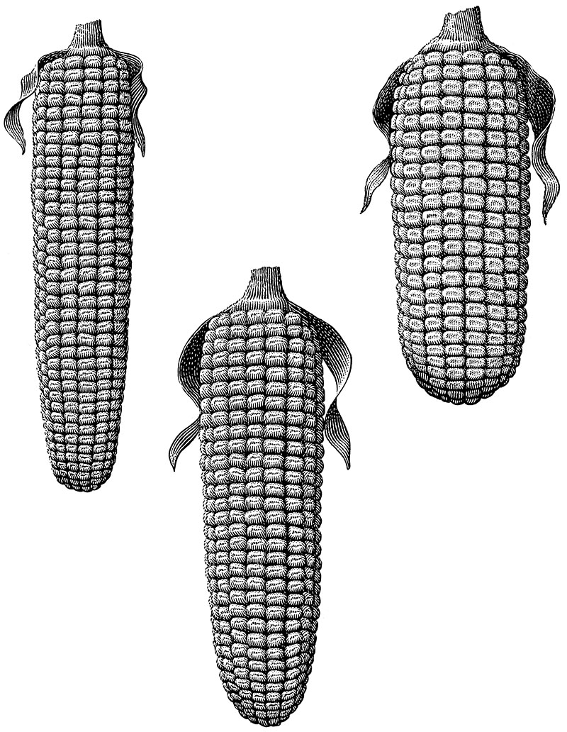 Dried Ears Of Corn